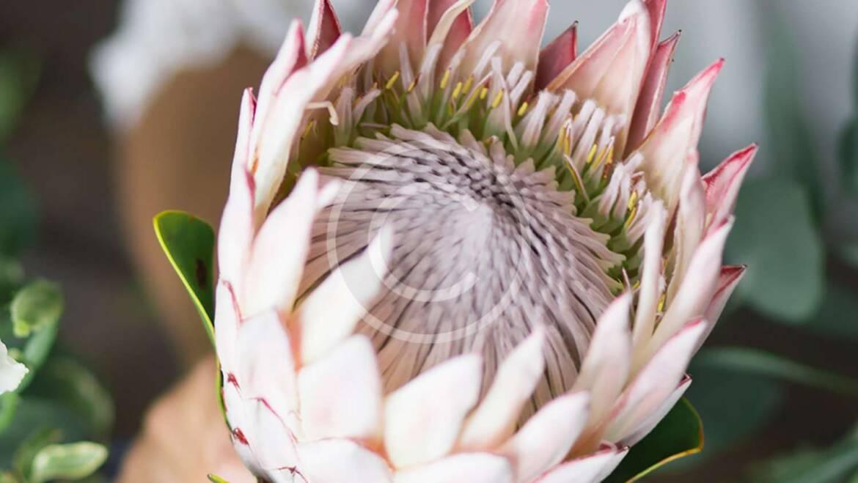 Hvor kommer Protea blomsten fra?